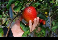 Povodom Svjetskog dana jabuka izložba sorti u Sv. Martinu na Muri