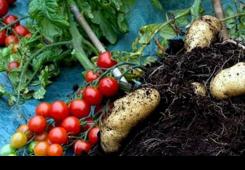 Novo povrće: Na istoj biljci rastu rajčice i krumpir