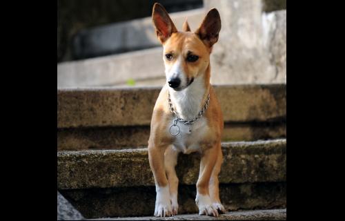 Mali međimurski pas – Međi slavi 14. obljetnicu utemeljenja pasmine