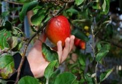 U Međimurju nitko ne želi brati jabuke za oko 200 kuna dnevno?!