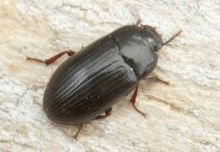 Manji brašnar Alphitobius diaperinus (Panzer) Coleoptera: Tenebrionda