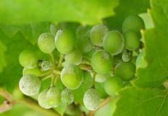Temperature iznad 30°C pogoduju pepelnici vinove loze