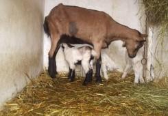 Rasplođivanje koza