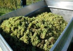 Evo koje su najčešće greške u preradi grožđa i proizvodnji vina!